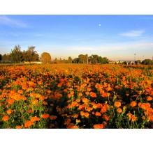 Campos de cempasúchil de Cholula